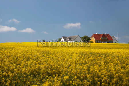 yellow rape field and farmhouses