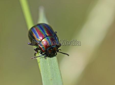rainbow leaf beetle chrysolina cerealis