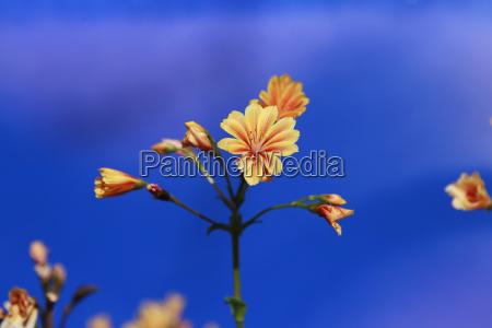 blossom orange