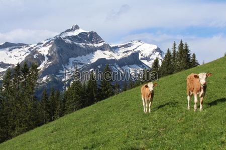 calves in front of the oldenhorn