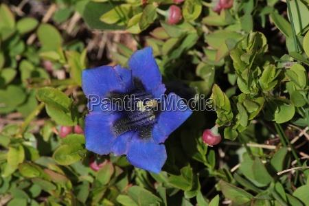 beautiful blue gentian growing in the