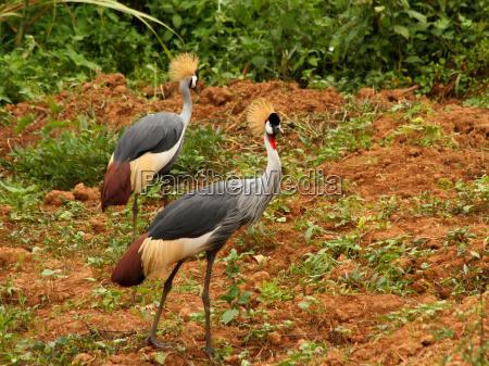 grey crowned crane in uganda