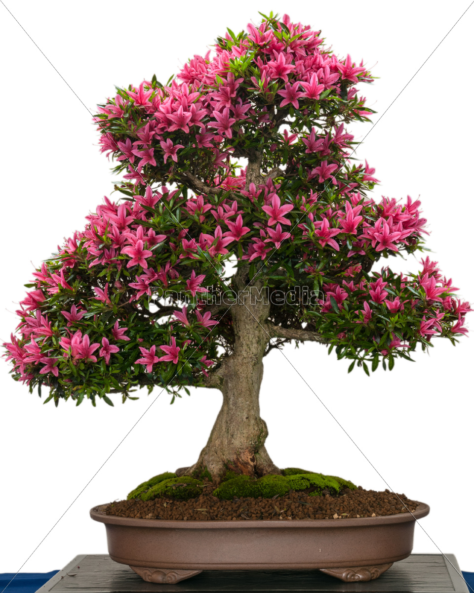 Royalty free photo 9581476 - blooming azalea bonsai tree with pink flowers