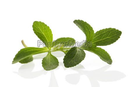 stevia leaves isolated on white