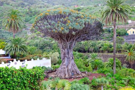 dracaena draco dragon tree canary
