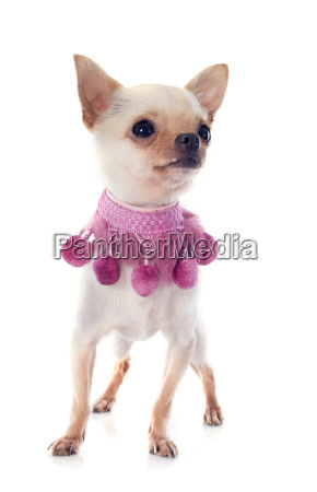 puppy chihuahua and pink collar
