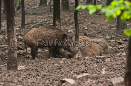 wild boar family in their natural