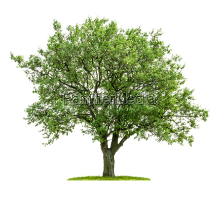 exempted deciduous against white background
