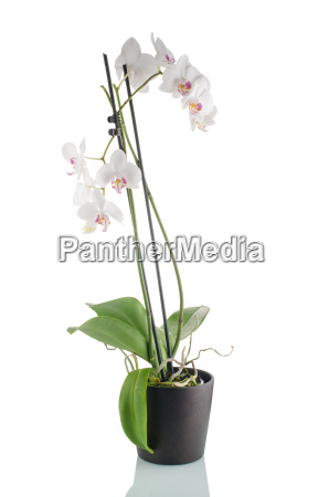 beautiful white orchid in a flowerpot