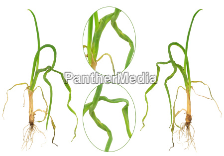 onion attacked by onion eelworm ditylenchus