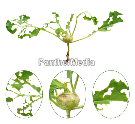 slug damage of green kohlrabi isolated