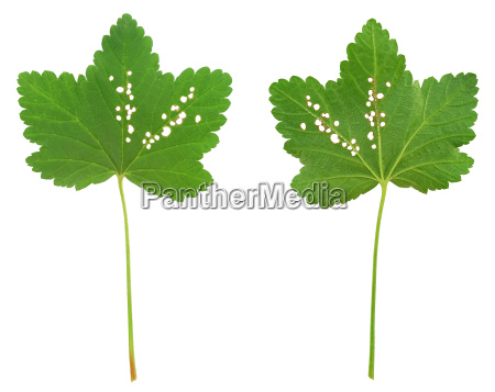 red currant leaf attacked by flea