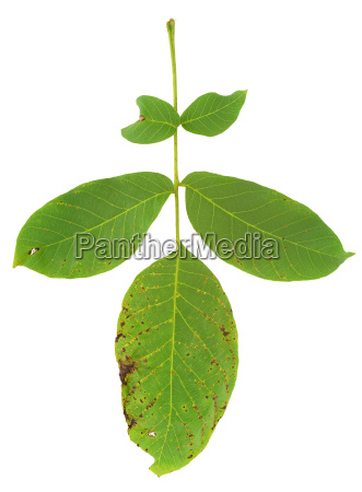 leaf of walnut tree attacked by