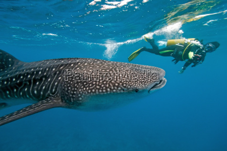 whale, shark, and, underwater, photographer - 9728992