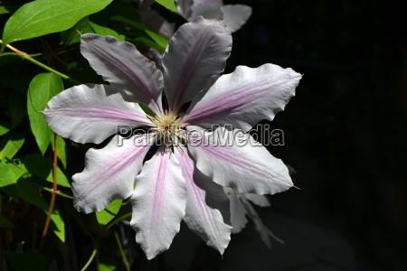clematis blooms
