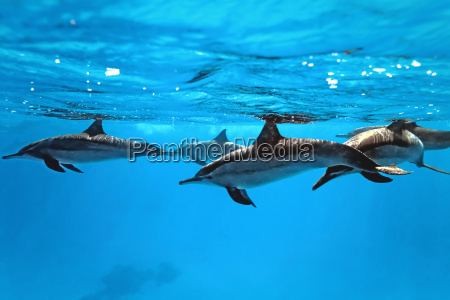 dolphins, in, the, sea - 9750350