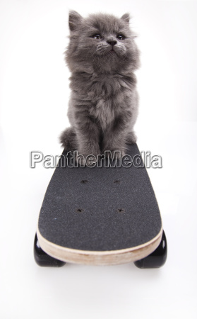 skateboard little gray kitten
