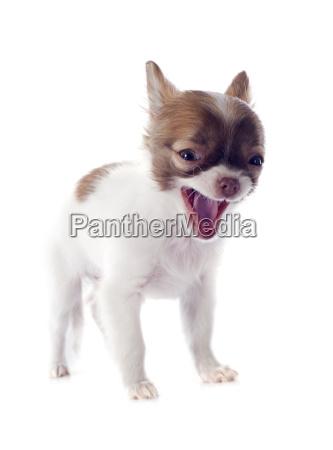 barking puppy chihuahua