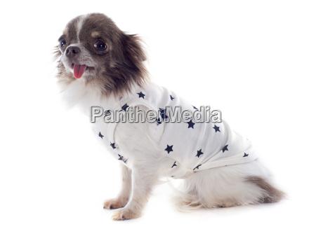 puppy chihuahua with tshirt