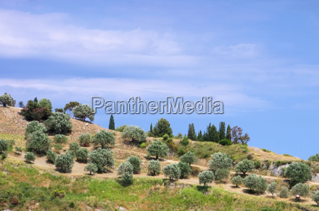 olive grove in calabria olive