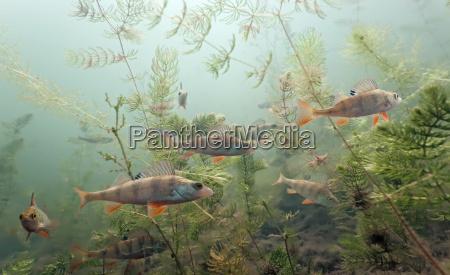 shoal, of, perch - 9782336