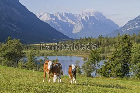 cows before wettersteingebirge