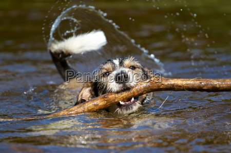 dog with stick in the water