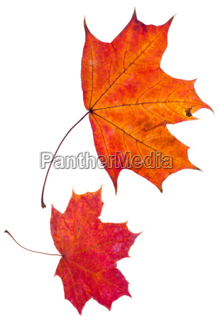 two, autumn, red, maple, leaves - 9863408