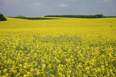 blooming canola fields in wellingen in