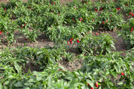 chillies on field
