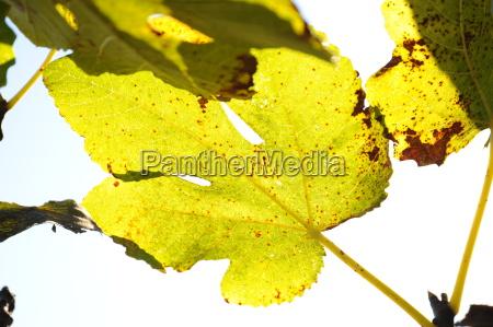 feige leaf in autumn