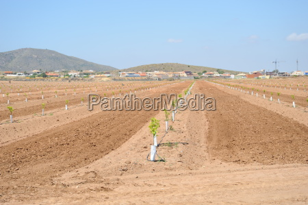 spain new orange plantation