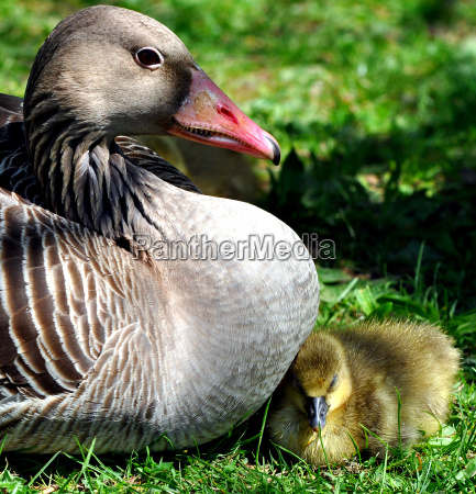 gray goose chick snuggles to his