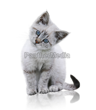 white and brown kitten