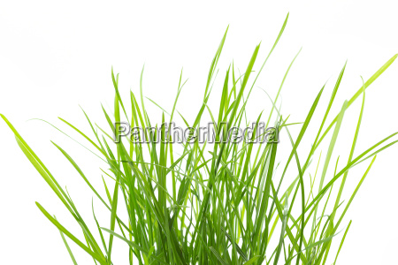 tussock on a white background