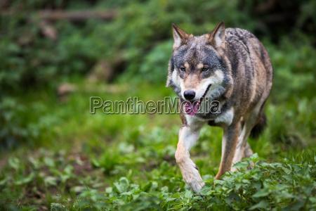 grayeurasian wolf