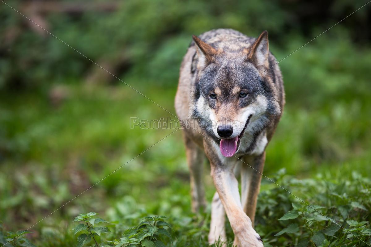 gray/eurasian, wolf, - 10005026