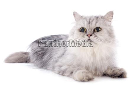 persian, cat - 10007224