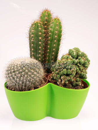 succulent cactus plants in a green