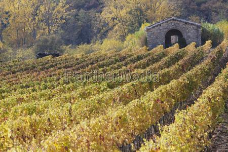 rows of vines vineyards beautiful