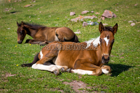 cute colts lying on grass