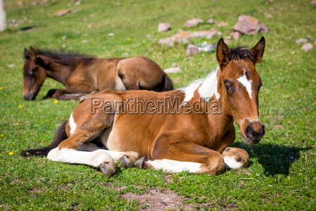 small cute foals on the grass