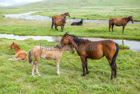 horses with colts pasturing at the