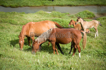 red horses with foals