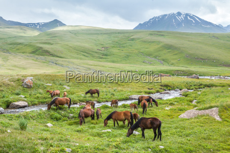 herd of horses with colts