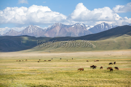 herd of horses grazing in mountains