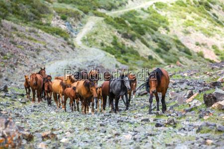 herd of horses going up in