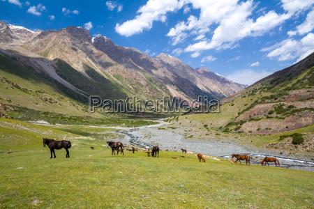 herd of horses pasturing in tien