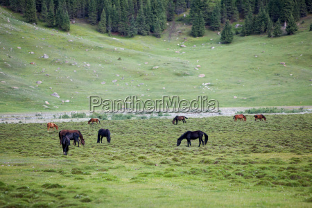 herd of feeding horses