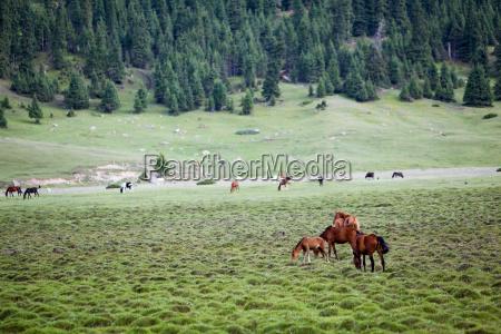 herd of horses and foals grazing